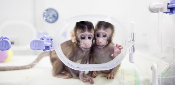 Deux premiers macaques clonés ont vu le jour en Chine 26
