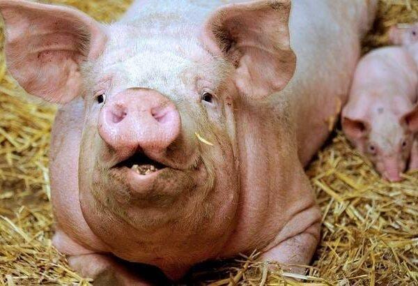 Peste porcine: un spécialiste en médecine apporte des détails