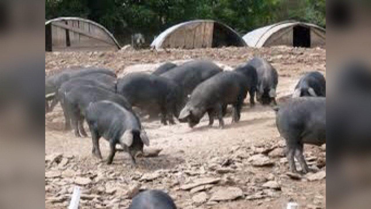 Le gouvernement haïtien cherche à protéger l'élevage porcin contre la peste porcine africaine