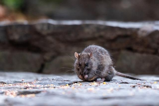 """Pise rat lakoz yon maladi ki rele """"Leptospirose"""" ap bay pwoblèm nan Nouyòk"""